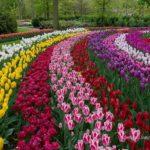 kuekenhof 6420 150x150 - Туры в парк цветов Кёкенхоф