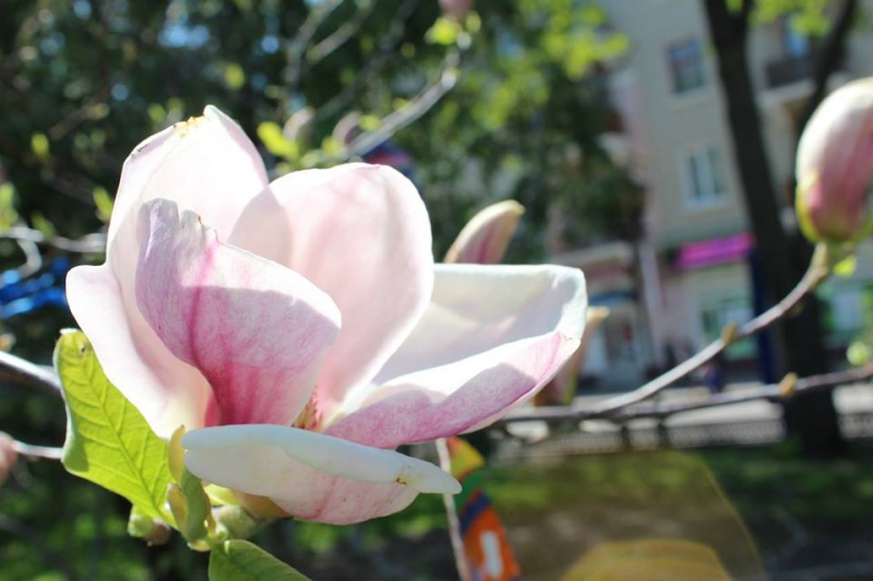 magnolia - От тайны к Збручу, поход на Бохит + цветение магнолии