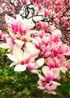 magnolij-1-342x342